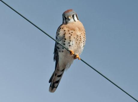 The kestrel is America's smallest raptor. The once-common falcon has seen a steep decline in recent decades and researchers hope new nesting boxes will help its population bounce back.