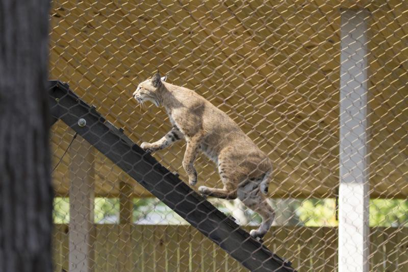 A bobcat climbs a ramp inside the new Perkins Wildlife Center at the Cleveland Museum of Natural History.