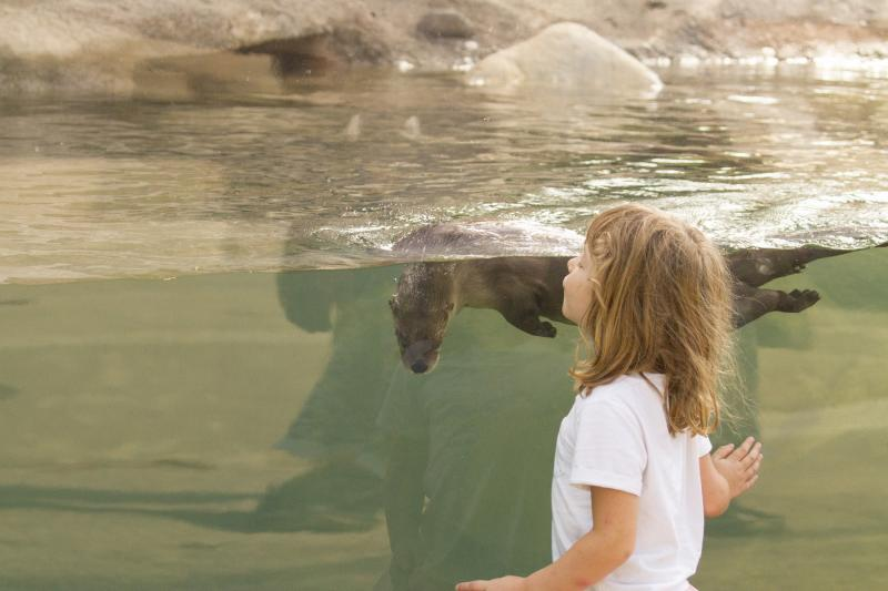 Otters too had been extirpated from Ohio, but recent conservation efforts have allowed their numbers to bounce back.