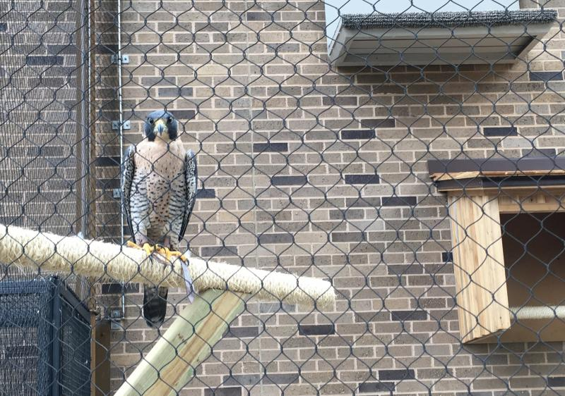 A peregrine falcon peers intently out of it's new perch.  All of the animals at the wildlife center, like this falcon, are rescued animals and not able to be returned to the wild.