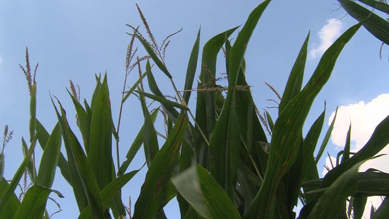 photo of Ohio corn field