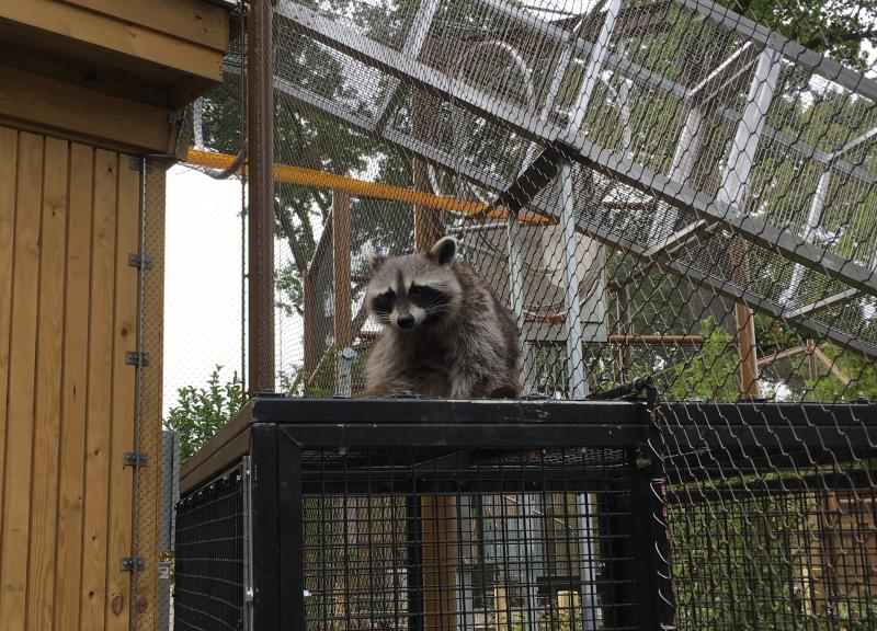 A raccoon sits under an aerial trail way that allows it to explore outside its enclosure.