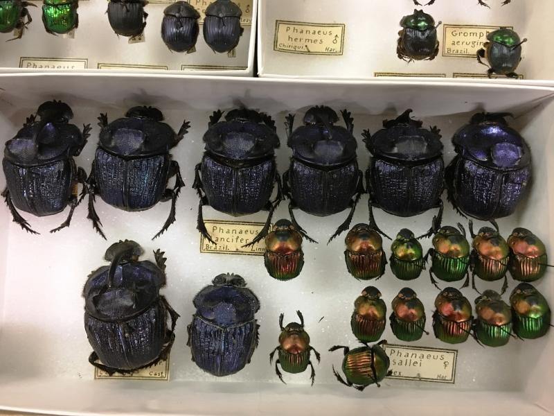 CMNH has dung beetles from all over the world in its collection.  These specimens were collected more than a century ago in South America.