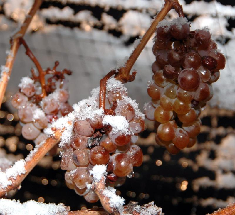 Photo of ice wine grapes