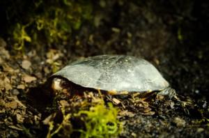 photo of spotted turtle