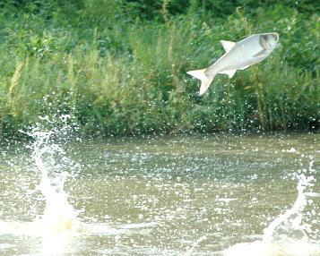 Asin Carp  leaping