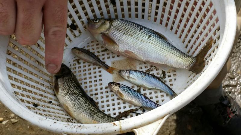 Members of the minnow family, the river chub and creek chub have spread along the length of the Cuyahoga River after the removal of dams in Kent, Munroe Falls, and Cuyahoga Falls.