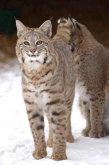 Photo of bobcat