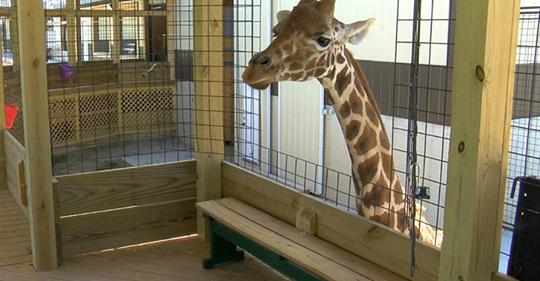 Expectant giraffe mother Macy