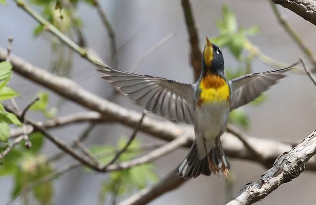 A northern parula, a type of warbler, takes flight from a branch at Magee Marsh Wildlife Area. The migrant is heading to breeding grounds in Canada with a brief stop on the southern shore of Lake Erie. Magee Marsh draws birders from all over the world.