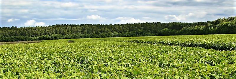 Soybean field in Ohi0