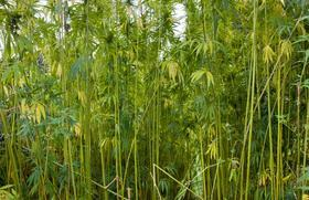 Should hemp laws be changed? Kentucky lawmakers are taking up the issue Monday.