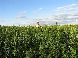 Hemp supporters want the crop legalized, pointing out it's not a drug and has economic potential for farmers.