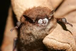 A bat with white-nose bat syndrome
