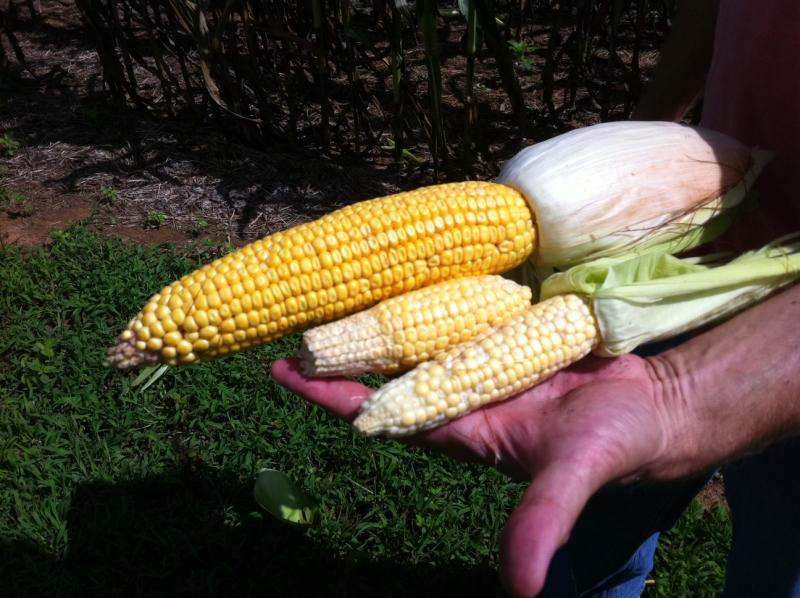 The ongoing drought in Kentucky largely destroyed this year's corn crop.