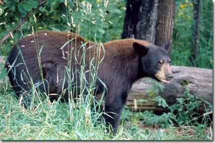 Black bear sightings reported in south central kentucky for Kentucky fish and wildlife jobs