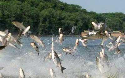 carp infestation Asian