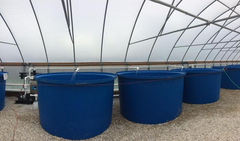 Nine tanks at Thomas Aquafarms are divided in three separate systems.