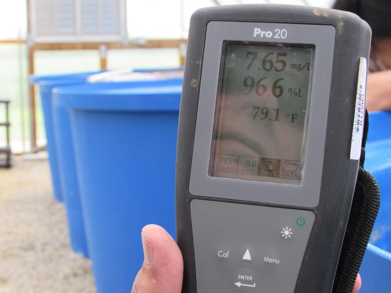 Monitoring temperature for the tropical fish tilapia at Thomas Aquafarms. The meter also measures dissolved oxygen.