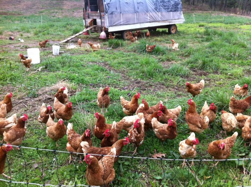 Free range chickens at the O'Daniel farm in Warren County