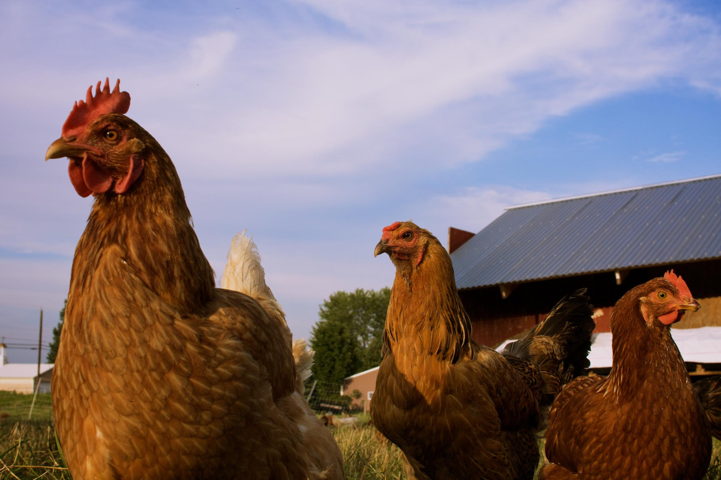 More chickens in Alabama confirmed with 'low-pathogenic' avian flu