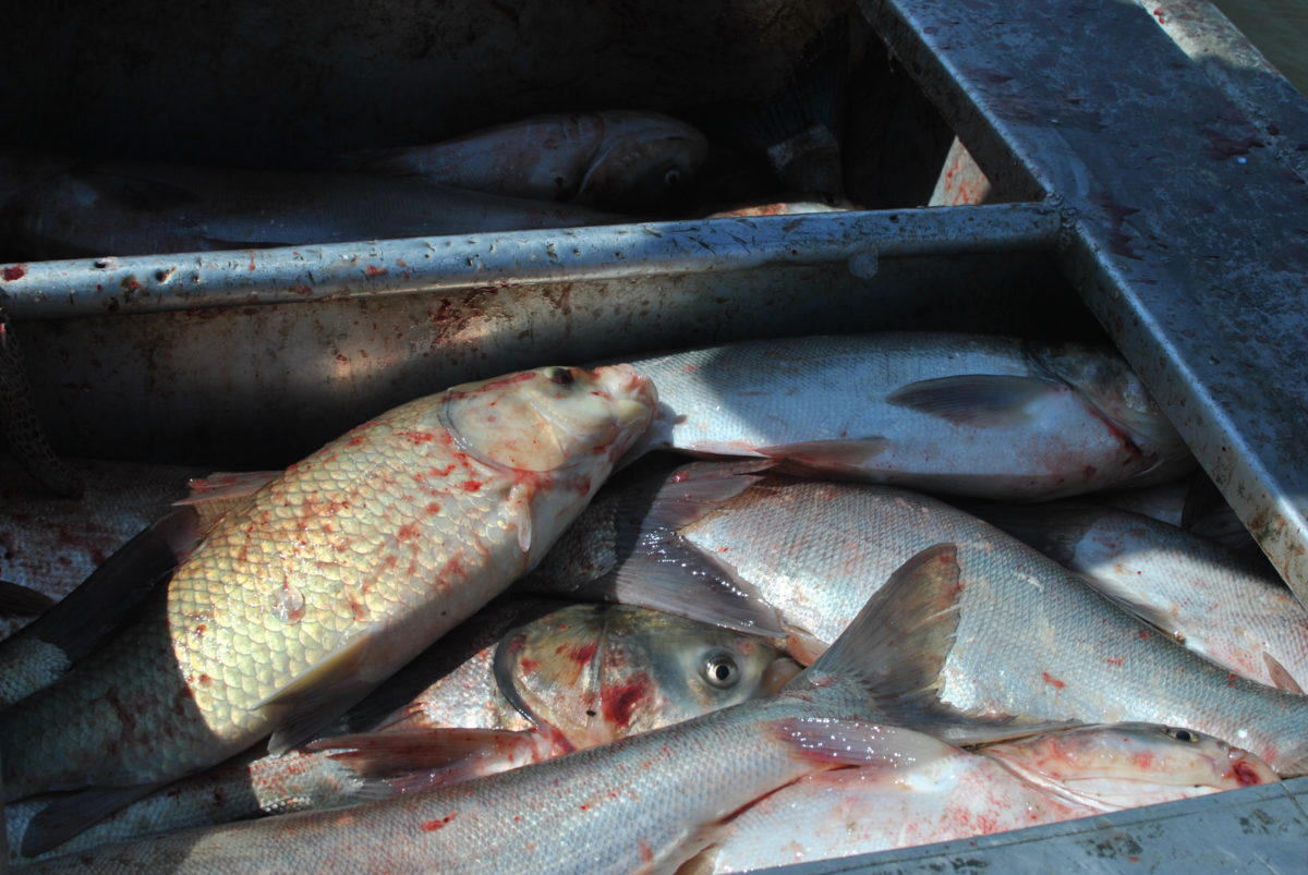 infestation Asian carp