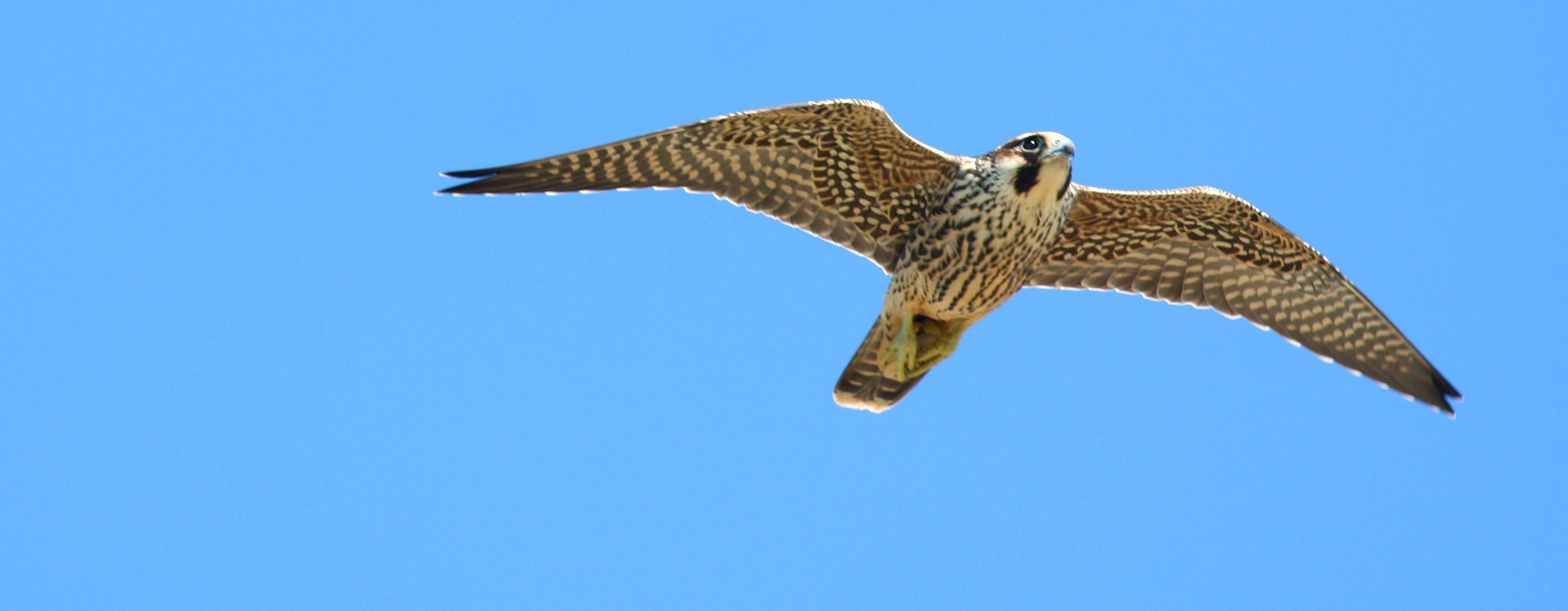 Peregrine Falcon Diving Wallpaper Peregrine Falcon Diving Gif