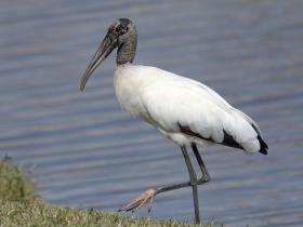 The wood stork numbers are up - but not without big changes in its range and habits.  The endangered bird has largely left the Everglades, once home to a significant number of nesting pairs.