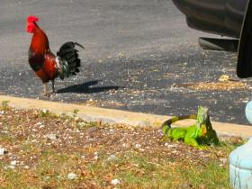 Chickens and iguanas can be found roaming the streets of Key West.