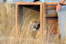 This Florida panther was rescued as a kitten and released on January 31 of this year.