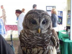A rescued barred owl at Everglades Day in 2011.