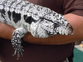 This domesticated tegu, Draco, is an education animal for the Zoological Society of Florida.