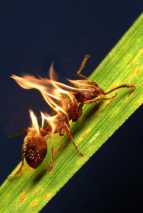 Less popular than even the Burmese python? The red imported fire ant is a blight on Florida's landscape.