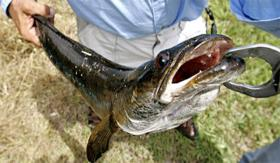 Snakehead fish reproduce like rabbits, but in water.