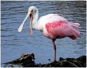 Roseate spoonbills are increasingly ditching South Florida for points north.