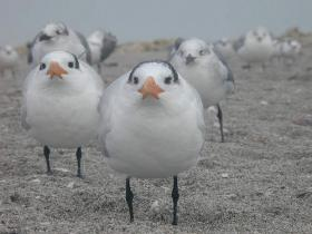Shore birds in South Florida are facing down the threat of rising sea levels.