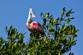 The roseate spoonbill is often mistaken as flamingo.