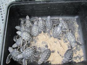 Some of the green turtles removed from a nest last month at Biscayne National Park. It was the first green turtle nest ever documented there. The turtles were released in the ocean.