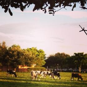 Cows roam in a field across the street from Publix supermarket in Miami Lakes.