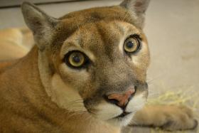 Twelve-year-old Mirasol the Florida panther finds a new home at the Palm Beach Zoo.