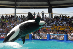 Lolita is a nearly-50-year-old killer whale at Miami Seaquarium. The park was hit with a $7,000 fine for not having a barrier between Lolita and her trainers.