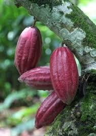Criollo cacao beans ripening on trees in Venezuela
