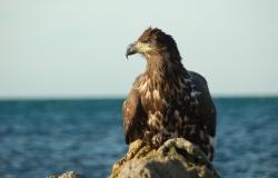 Wild! Sea Eagles