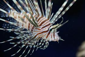 The Florida Fish and Wildlife Conservation Commission is trying to get rid of the lionfish.