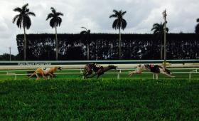 Greyhound dogs racing at the Palm Beach Kennel Club