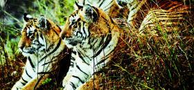 Tiger-Spy in the Jungle