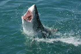 A group is tracking great white sharks to try and shed some light on their lives.