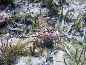 The two-day recreational mini-season for spiny lobster is hugely popular in the Keys, despite special restrictions along the island chain.