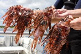 Researchers say the lionfish is a voracious predator -- but also delicious.