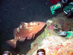 A red grouper checks out a diver during the 2013 Pulley Ridge expedition. The fish are curious and often relatively unafraid to approach humans in their midst.